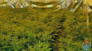 800 krzewów marihuany[br] w domku na Mokotowie