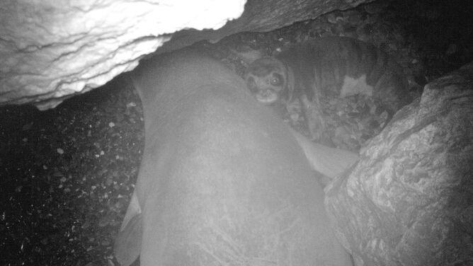Odkryto sekretne miejsce lęgowe najrzadszej foki świata