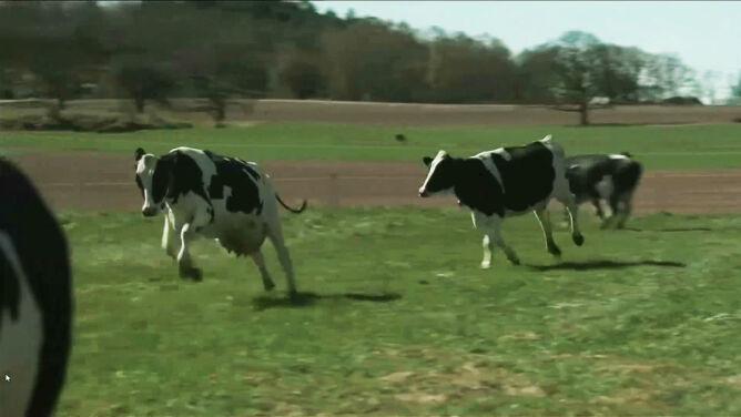 Szczęśliwe krowy w radosnych podskokach. Przez COVID-19 tym razem bez publiczności