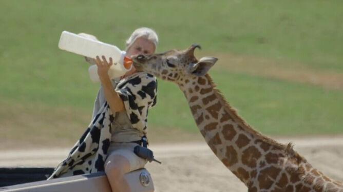Żyrafiątko z ręki jeść nie będzie. <br />By je nakarmić, potrzebne jest przebranie