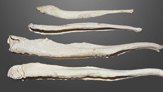 Dlaczego ludzki penis nie ma kości? Historia bakulum prześledzona